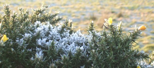 The whin flower blooms even in the frost, proving that kissing is never out of season.